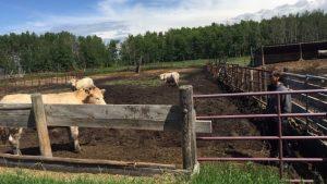 المزارع لوي لوسون مربّي الأبقار في البرتا/ Radio-Canada/Catherine Bouchard