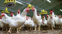 دجاج في قنّ كبير/Radio-Canada