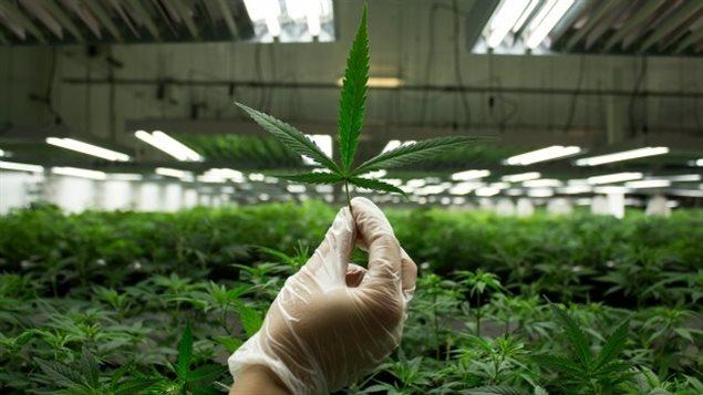 نبتة الماريجوانا المخدّرة (أرشيف) / CBC/هيئة الاذاعة الكنديّة