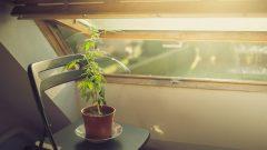 نبتة ماريجوانا تحت أشعة الشمس/ iStock/Natan Bolckmans