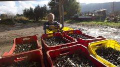 مزارع إيطالي يعرض إنتاجه من الزيتون في منطقة تطبق عليها تسمية من أصول محمية/الصحافة الكندية