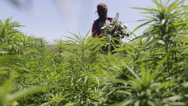 شخص يتنقّل بين شتول الماريجوانا/ Getty Images/Joseph Eid