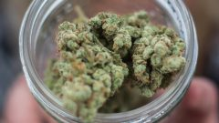مع اقتراب تشريع الماريجوانا منتصف الشهر المقبل للاستهلاك مدينة إدمنتون تعتمد نظاما استهلاكيا متشددا/الصحافة الكندية