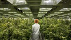 أخصائيون من جامعة ساسكتشوان يتشوقون للوصول إلى مجلات جديدة من الأبحاث بعد تشريع الماريجوانا لمعرفة أفضل على النبتة/الصحافة الكندية