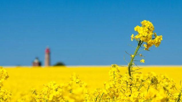 وكالة الاحصاء الكنديّة تتوقّع أن يزرع منتجو سسكتشوان الزراعيّون كميّات أقلّ من بذور الكانولا هذه السنة/Shutterstock