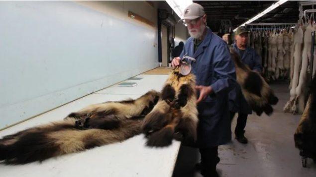 """تعالج دار المزادات """"فور هارفسترز"""" ما يقرب من مليون فراء سنويًا تحصل عليها من الصيادين في كندا والولايات المتحدة- Submitted by Fur Harvesters inc"""