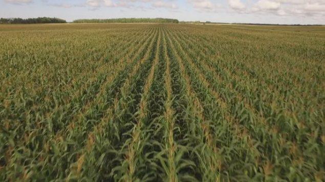 موسم زراعة الذرة تأخّر في أونتاريو بسبب الطقس الرديء والأمطار الغزيرة / Radio-Canada/La semaine verte