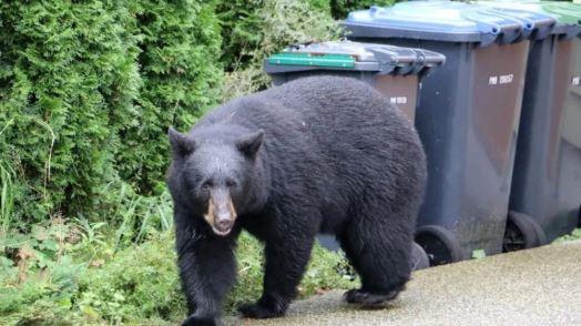 سلوك الدب المقتول يشير إلى أنه أصبح لا يخش البشر واعتاد على طعامهم -Radio Canada / Curt Petrovich