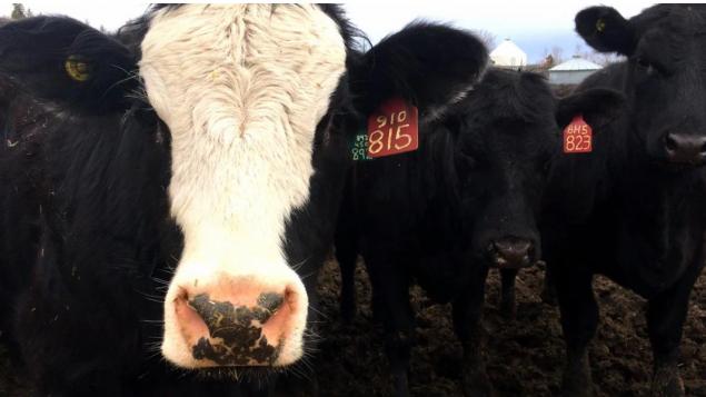 صناعة لحوم البقر أقلّ تضرّرا بالحظر الصيني من لحوم الخنزير/Typhanie Roquette/ Radio-Canada