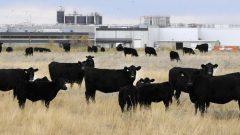 صناعة لحوم البقر تتلقّى المزيد من الانتقاد من دعاة البيئة/ Larry Macdougal/PC