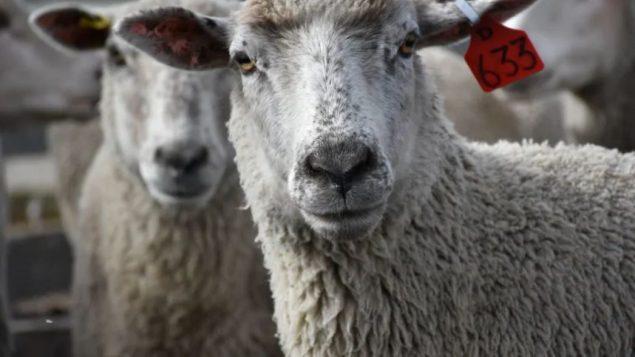 الحكومة الكنديّة اتّخذت اجراءات للتقليل من استخدام المضادات الحيويّة في تربية المواشي/ Terry Reith/CBC News/ هيئة الاذاعة الكنديّة