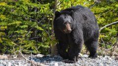 سيبقى المتنزه مغلقا إلى حين يقرّر محافظو البيئة والحياة الحيوانية أن خطر الدب الأسود قد ولّى - iStock