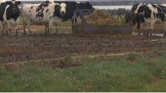 مزارعو الأبقار قلقون على موسم الأعلاف في مقاطعة جزيرة برنس ادوارد//Randy Mcandrew/CBC/Radio-Canada
