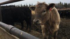 وفقا لمنتجي لحم البقر، سيكون هناك ما يكفي من الغذاء لقطعانهم في العام 2020 - Radio Canada Tiphanie Roquette /