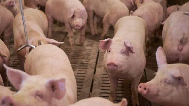 تخلّصت مزارع الخنازير في الصين من مئات الآلاف من الحيوانات بسبب أنفلونزا الخنازير - Submitted by Stacey Ash