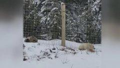 """تقول كارا كلاركسون التي شاهدت دب الغريزلي الأبيض مع عائلتها :"""" كان لونه أبيض كلون الدب القطبي! وبالنسبة لنا ، إنه لقاء العمر!."""" - Photo : Cara Clarckson/Courtesy"""