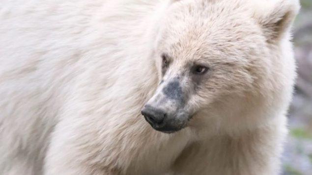 شوهد الدب الأبيض في حديقة بانف الوطنية في ألبرتا في وقت سابق من هذا الربيع وانتقل مؤخرًا غربًا إلى حديقة يوهو الوطنية في بريتيش كولومبيا - Jason Bantle / Canadian Press handout