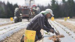 يشكل المكسيكيون حوالي نصف العمال الأجانب المؤقتين العاملين في القطاع الزراعي في كندا - The Canadian Press / Graham Hughes
