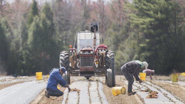 توفي ثلاثة عمال مكسيكيين في كندا وأصيب مئات آخرون بفيروس كورونا المستجدّ في الأسابيع الأخيرة - The Canadian Press / Graham Hughes