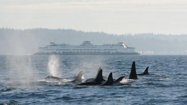 """وفقًا للعلماء، فإنّ أحد المخاوف المتعلقة بحيتان الأوركا المهددة بالانقراض هو """"أن ضوضاء الشحن تزداد وتتضاعف كل عقد."""" - PHOTO : C. EMMONS/NOAA FISHERIES"""