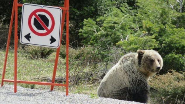 """يقول المسؤولون إن """"منطقة عدم التوقف"""" ستسمح للدب الأبيض والبني والعديد من الدببة الأخرى في المنطقة بالتغذية دون عوائق - Brian Spreadbury / Parks Canada"""