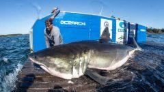 """""""كانت أسماك القرش موجودة دائمًا في المحيط الأطلسي ،وإذا حافظ المجتمع على تدابير الحفاظ عليها ، فستظل موجودة دائمًا في المستقبل.""""، وفقًا للباحثن - Photo : R Snow/ Ocearch / The Canadian Press"""