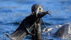 سيُسمح للصيادين باصطياد ما يصل إلى 15 طائر غاق في اليوم بين من 15 سبتمبر أيلول و31 ديسمبر كانون الأول من كل عام - Photo : Government of Ontario