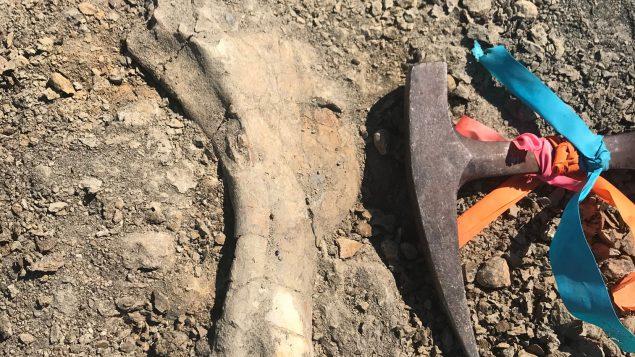 """جزء من الهيكل العظمي المُكتشف للـ""""هادروصور"""" الشاب ، وهي فصيلة معروفة باسم بطيّات المنقار - The Canadian Press / HO-Dion Hrushkin"""