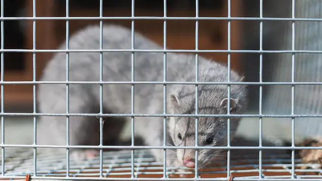 كوفيد-19: مزارع كندي يُعدم كل حيوانات المنك في مزرعته
