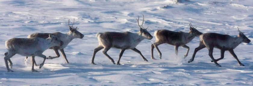 caribou-convention