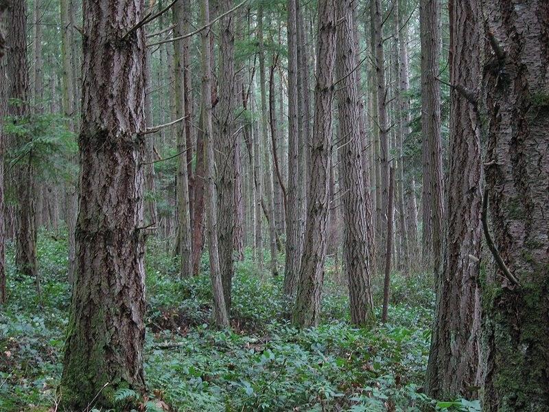 800px-Forest_on_San_Juan_Island