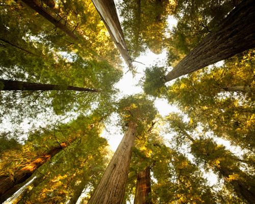 Je suis un arbre pouvant atteindre un diamètre de six mètres et vivre au-delà de mille ans…