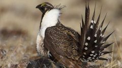 The grasslands are also home to the prairie sage grouse. Very easily disturved by human presence, there are only about a mere 150 thought left in Alberta and Saskatchewan (photo- CBC)