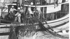Photo from 1950's- basket of herring is lifted from the full seine net. Each basket-load weighs about two tons. Commercial fishing has had a major effect on herring numbers. (Photo- Fisheries and Oceans Canada)