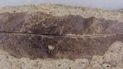 Incredible detail on a fossilized Salix leaf, a willow-type of tree leaf. (courtesy Larsson- Mcgill-Redpath) CLICK to enlarge