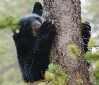 Wildlife specialists advise bear country residents and visitors to steer well clear of the animals.  If you encounter a black bear or a grizzly, it is best not to turn and run -- you will not outrun the bear.  Back away slowly, or the bear charges, stand your ground.