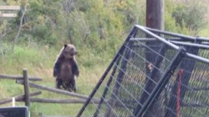grizzly bears in backyard had no fear video