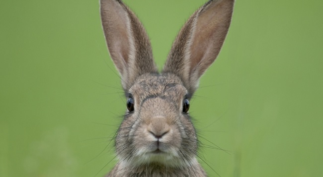 Rabbit Show Cancelled Due To Deadly Virus Rci English