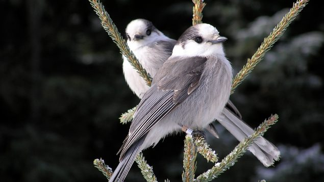 Two Canada jays.