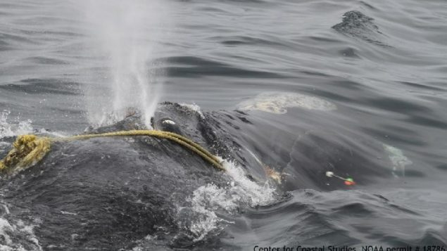 Rescuers off Cape Cod attempt to cut the fishing line which has entangnled a female right whale for three years. They say she looks weak and thin. The ropes were partially cut by an arrow but it is not know if it was enough to eventually break the lines