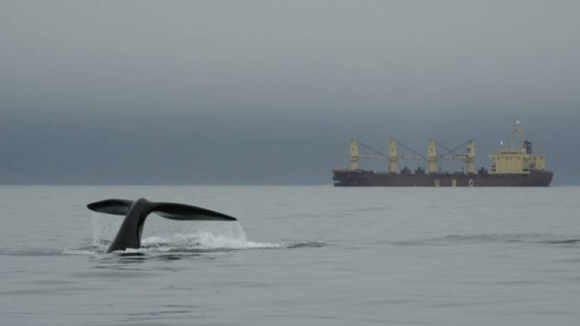 Speed limits on commercial shipping have been re-imposed in the Gulf of St Lawrence after two endangered right whales were spotted this week