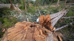 Trees up to 1,000 years old being felled by logging companies in spite of rules against it