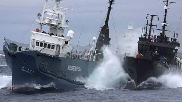 Quitting whaling commission is risky gambit by Japan