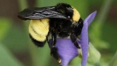 The American bumble bee is in serious decline according to a new Canadian study. The bee is recognizable by its dark wings and yellow striping ( Kristy Baker via NY Natural Heritage Programme)