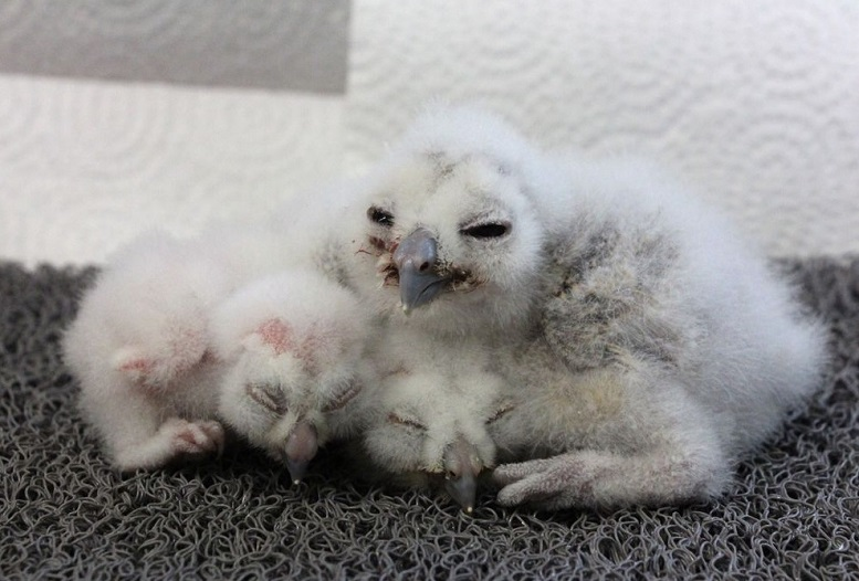 Northern spotted owl chicks are seen in this undated handout photo. Curious bird lovers can now get a glimpse of the youngest member of one of the most endangered creatures in Canada. A webcam has been set up above the nest of a pair of northern spotted owls, just days after a newly hatched chick was placed inside. PHOTO: HO