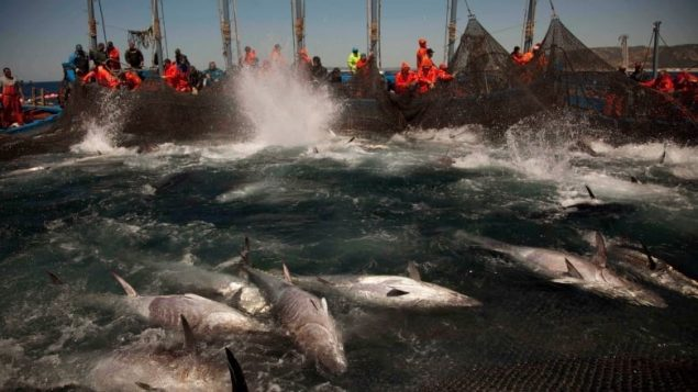 Atlantic bluefin tuna are corralled by fishing nets off the coast of Barbate, Cadiz province, southern Spain. Two studies by environmental groups say overfishing of the Atlantic continues, in part because quotas are too high. (Emilio Morenatti/Associated Press)