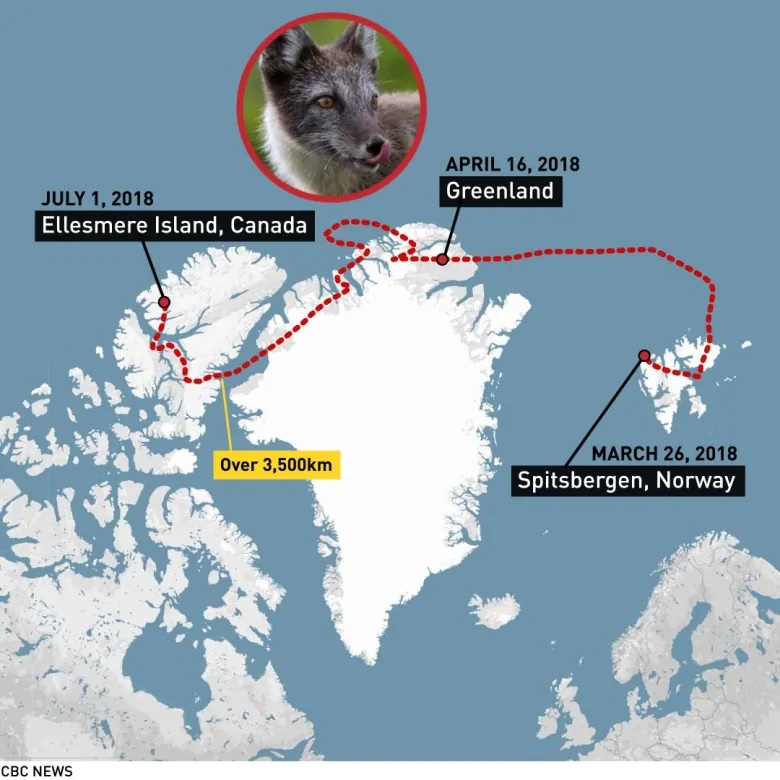 A young fox makes record trip from Norway to Canada