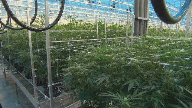 Pot stinks and residents starting to complain