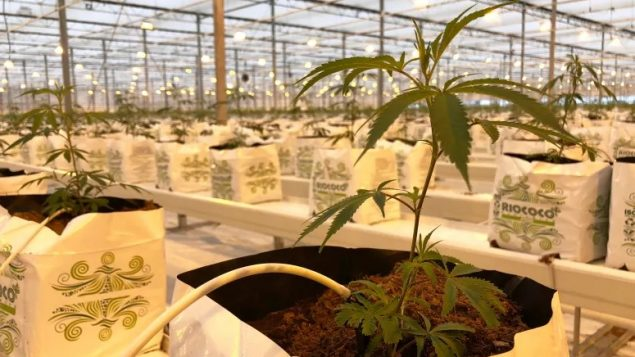 Food or cannabis? Farming questions in Canada