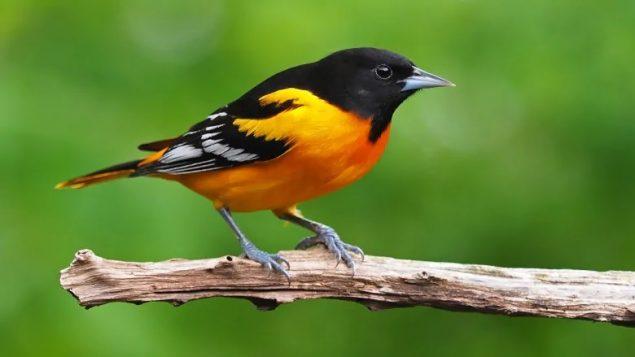 Massive loss of N.American birds: study